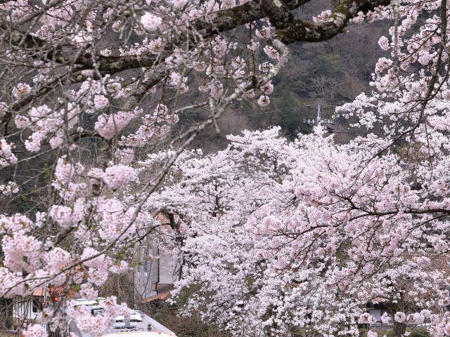[入 選] 桜窓 (川出 尚志(東京都練馬区))