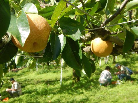 高丸農園の梨