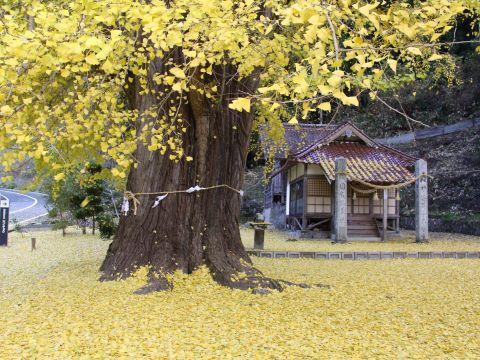 大イチョウの黄色の絨毯